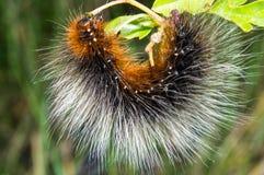 Garden tiger moth caterpiller Royalty Free Stock Image