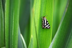 Garden tiger moth with closed wings Royalty Free Stock Images