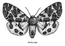 Garden tiger moth illustration, drawing, engraving, ink, line art, vector. Illustration, what made by ink and pencil, then it was digitalized Royalty Free Stock Photo