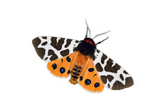 Garden tiger moth over white Stock Photo