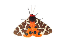 Garden tiger moth (Arctia caja) Royalty Free Stock Photography