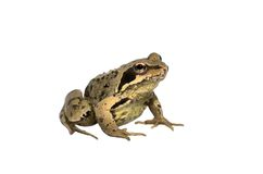 Garden Toad. The common british garden toad isolated over white Royalty Free Stock Photos