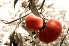 Tomatoes. Two fresh garden tomatoes - Ripe and ready Royalty Free Stock Photo