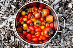 Garden Tomatoes. An assortment of freshly-harvested tomatoes in a colander Royalty Free Stock Photography