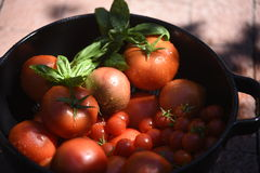 garden tomatoes Royalty Free Stock Images
