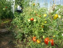 Tomatoes in the garden Royalty Free Stock Image