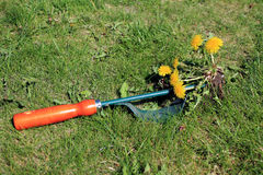 Garden tool for manual weed removal on lawn. Royalty Free Stock Photos