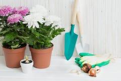 Garden tools and chrysanthemum Stock Photos