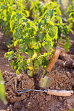 Garden tools near bell pepper plant Stock Image