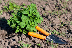 Garden Tools and Tomato Seedlings in the Beds Stock Image