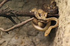 Garden tree boa Stock Photo