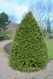 Garden tree. A pruned tree, hedge in a spring garden Stock Photos