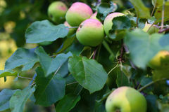 Garden with trees and fruits Stock Images