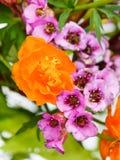 Garden Trollius and bergenia flowers close up Stock Photography