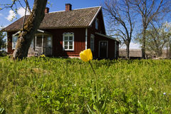 Garden Tulip Royalty Free Stock Photography