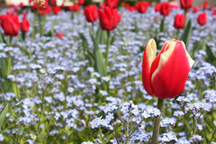 Garden tulip Stock Photography