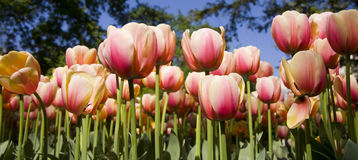 Garden with tulip flowers Royalty Free Stock Photo