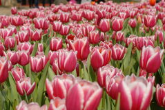 Garden of tulips Stock Photography