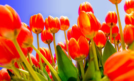 Garden of tulips Royalty Free Stock Images