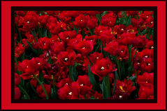 Garden Of Tulips. These beautiful tulips were in full bloom, it looks wonderful there were so many growing it almost looked like a red carpet Royalty Free Stock Images