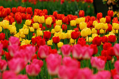 Garden of  tulips Royalty Free Stock Photography