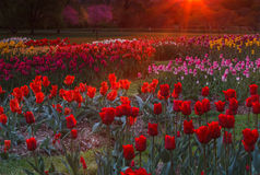Garden of Tulips in the Glow of Sunrise Washington DC Royalty Free Stock Image
