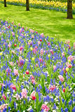 Garden with tulips and hyacinths Royalty Free Stock Images