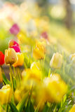 Garden with tulips illuminated by the sun Royalty Free Stock Images