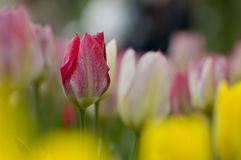 A garden of tulips. Not blooming red Tulip, closeup Stock Image