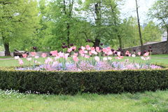 Garden with tulips and pansies Stock Photos