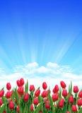 Garden of tulips Royalty Free Stock Photos