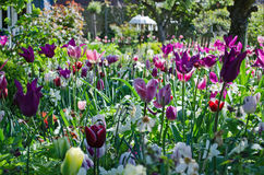 Garden with tulips Stock Photos