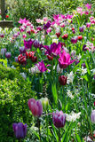 Garden with tulips Royalty Free Stock Image