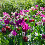 Garden with tulips Royalty Free Stock Photo