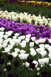 Garden of tulips, spring colorful Stock Photography