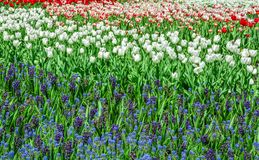 Tulips and Spring Flowers at Ottawa Tulips Festival 2017 Stock Photo