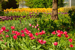 Garden of tulips. A variety of tulips growing in profusion in a botanical garden royalty free stock photography