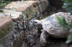 Garden turtle Stock Photos