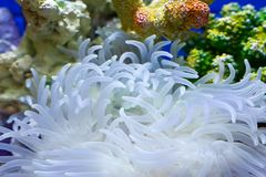 Garden under the sea. Anthozoan(coral),the garden under the sea Royalty Free Stock Photography