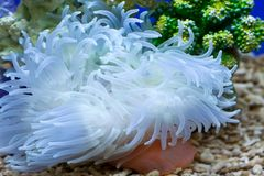 Garden under the sea. Anthozoan(coral),the garden under the sea Royalty Free Stock Image