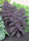Garden Vegetable Bed. A Row of Scarlet Kale in a Garden Vegetable Bed Stock Images
