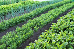 Garden with vegetable beds. The leaves of carrots, beets and onions growing in the beds Stock Image