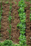 Garden Vegetable Plot 1. An aerial view of a small garden vegetable plot in Tuscany, Italy Royalty Free Stock Image