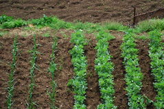 Garden Vegetable Plot 2. An aerial view of a small garden vegetable plot in Tuscany, Italy Royalty Free Stock Images