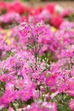 Garden verbena flower Royalty Free Stock Photography