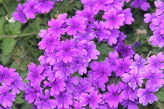 Garden Verbena Royalty Free Stock Photos