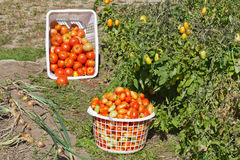 A Garden View of Harvested Tomatoes Stock Images