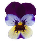 Garden viola isolated Royalty Free Stock Photos