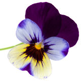 Garden viola isolated Royalty Free Stock Photography