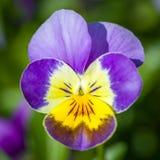 Garden violet on blurred background. Close-up of a garden violet with a blurred background Stock Image